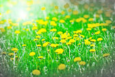 Vivid spring yellow dandelions — Stock Photo