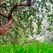 Beautiful blooming of decorative white apple and fruit trees over bright blue sky in colorful vivid spring park full of green grass by dawn early light with first sun rays, fairy heart of nature — Stock Photo #26758667