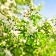 Beautiful blooming of decorative white apple and fruit trees over bright blue sky in colorful vivid spring park full of green grass by dawn early light with first sun rays, fairy heart of nature — Stock Photo #26760239