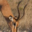 Male impala grazing - Foto Stock