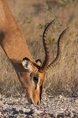 Male impala grazing — Stock Photo