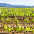 Vineyard in Provence — Stockfoto #25829817