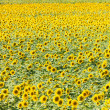 Sunflower field — Stock Photo #30062895