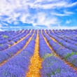 Lavender field in Provence — Stock Photo #35019349