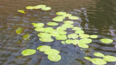 Lily pads floating in a pond — Stock Video