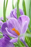 Crocus flower — Stock Photo