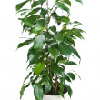 Ficus benjamina isolated - Stock Photo