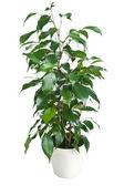 Ficus benjamina isolated — Stock Photo