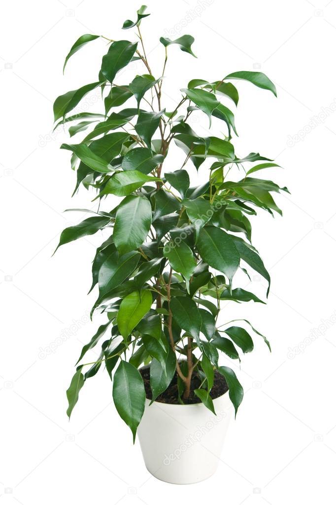 Ficus benjamina aislado foto de stock duskbabe 18907029 - Ficus benjamina precio ...
