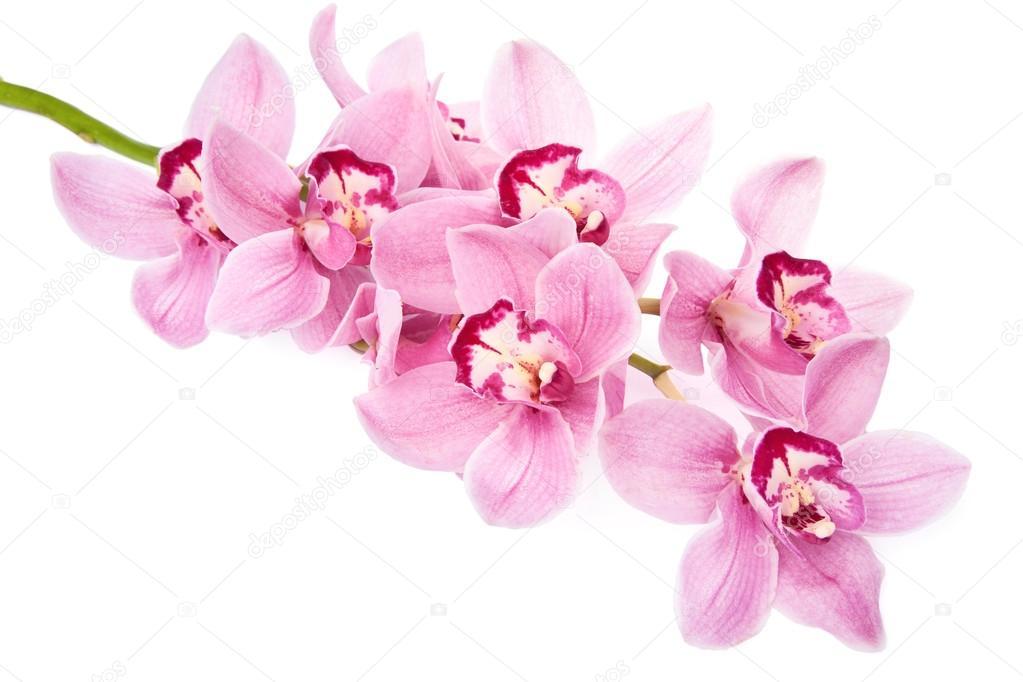 粉色的兰花花隔离