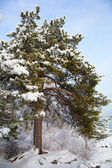 Winter landscape with snowy pine tree — Stockfoto