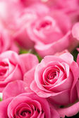 Beautiful pink rose flowers background  — Photo