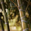 Royalty-Free Stock Photo: Close-up of a bamboo plant.