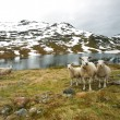 Group of sheep near mountain lake - Stock Photo