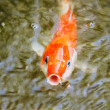 Closeup of goldfish in water - Stock Photo