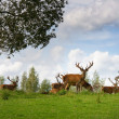 Stock Photo: Deer flock in natural habitat