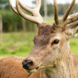 Deer — Stock Photo