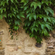 Royalty-Free Stock Photo: Old stone wall with plant growing over it