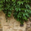 Old stone wall with plant growing over it — Stock Photo