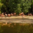 Group of pink flamingos near water - Stock Photo