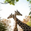 Two beautiful giraffes - Stock Photo