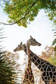 Two beautiful giraffes — Stock Photo