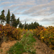 Beautiful vineyard landscape view — Stock Photo