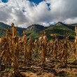 Dry maize field view — Stock Photo