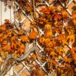 Beautiful autumn leaves on house wall - Stock Photo