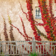 Beautiful red leaves on house wall — Stock Photo #19606057