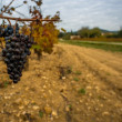Dark grape against wineyard view - Stock Photo