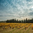 Stock Photo: Beautiful vineyard landscape view