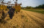 Dark grape against wineyard view — Stock Photo