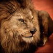 Stock Photo: Lion lying on arena