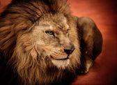 León tumbado en la arena — Foto de Stock