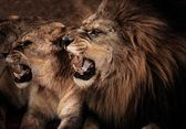 Close-up shot of roaring lion and lioness — Stock Photo