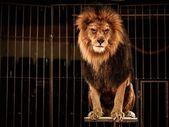 Gorgeous lion — Stock Photo