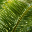 Close-up view of fresh green palm tree leaf — Foto de Stock