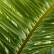 Royalty-Free Stock Photo: Close-up view of fresh green palm tree leaf