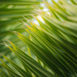 Close-up view of fresh green palm tree leaf — Stock Photo