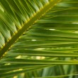 Close-up view of fresh green palm tree leaf — Stock Photo #22237903