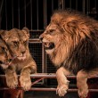 Gorgeous roaring lion and two lioness - Stock Photo