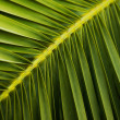 Close-up view of fresh green palm tree leaf — Stock Photo #22237919