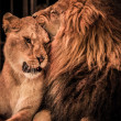 Gorgeous lion and lioness - Stock Photo