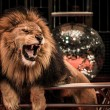 Gorgeous roaring lion - Stock Photo