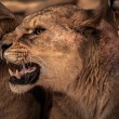 Beautiful roaring lioness - Stock Photo