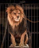 León rugiente hermosa — Foto de Stock