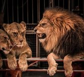 Gorgeous roaring lion and two lioness — Stock Photo