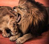 Muhteşem aslan ve aslan — Stok fotoğraf