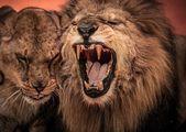 Gorgeous roaring lion — Stock Photo